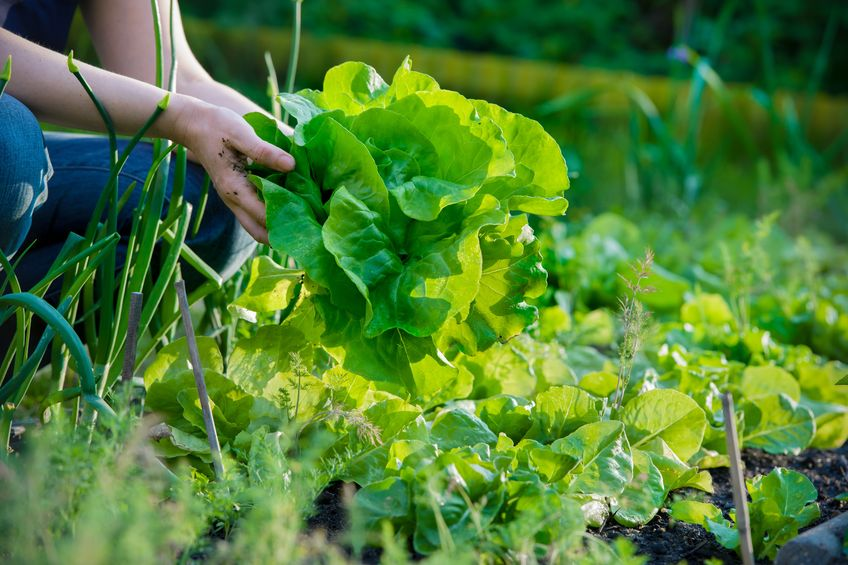 13842672 – woman picking fresh lettuce from her garden